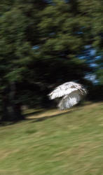 Diving white Owl