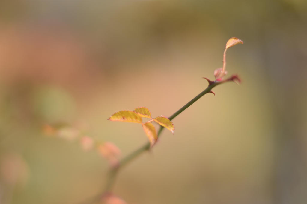 Just thorns by maximila