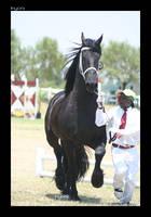 Friesian stallion by Inyoni