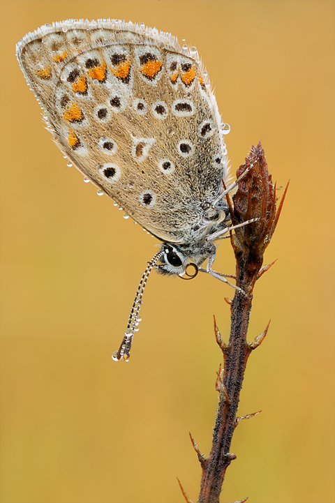 common blue by MartinAmm
