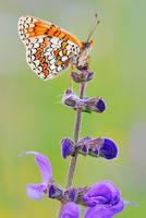 melitaea phoebe by MartinAmm