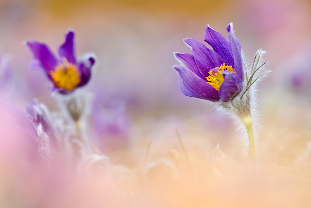 purple haze by MartinAmm
