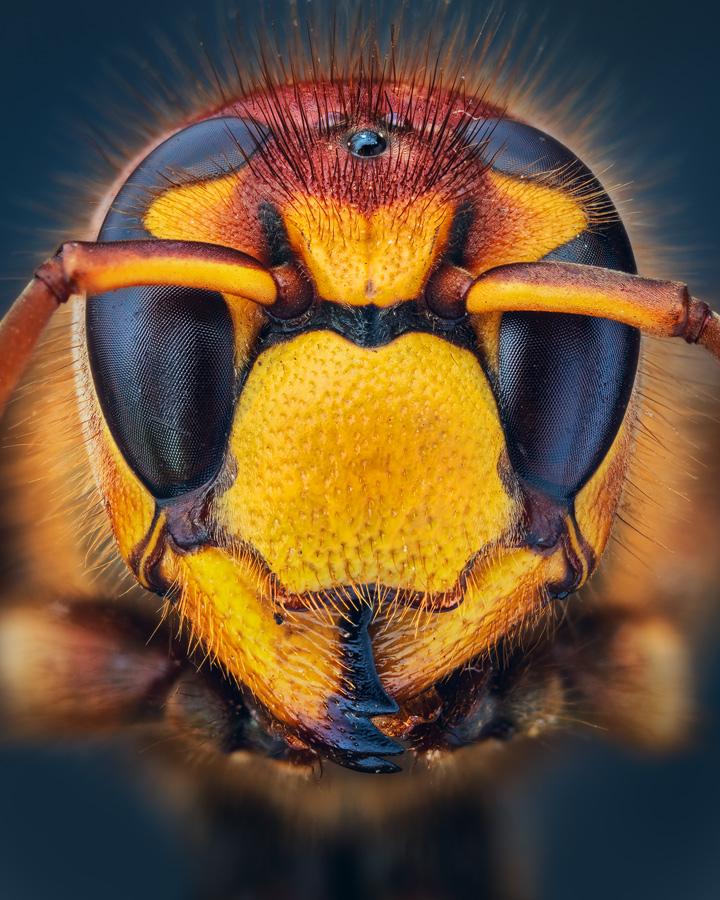 Hornet by MartinAmm
