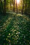 ramson blossom