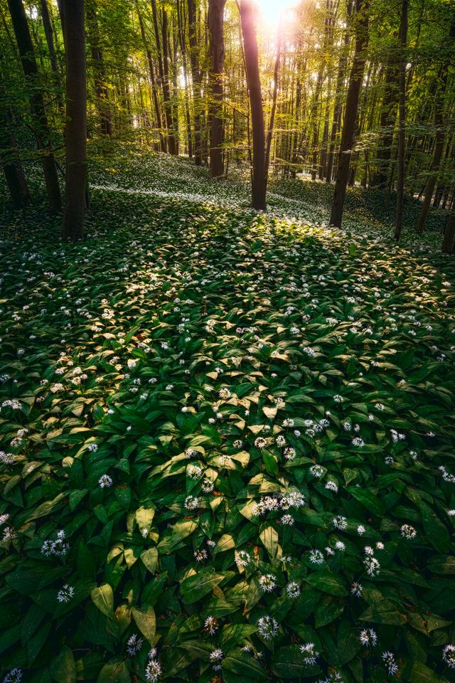 ramson blossom by MartinAmm