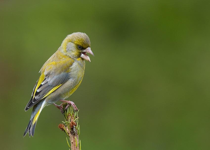 singing finch by MartinAmm