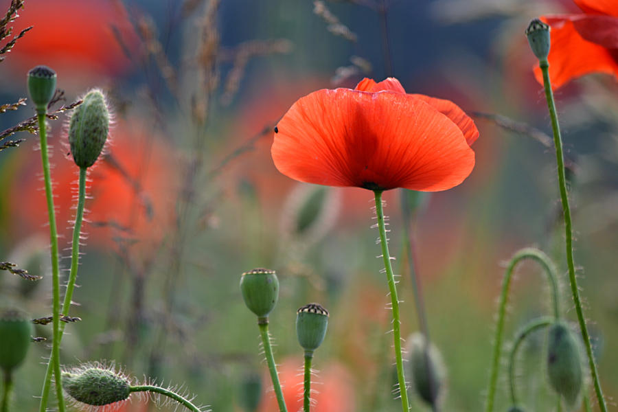 Poppy-field by sonafoitova