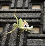 fight locusts dance5