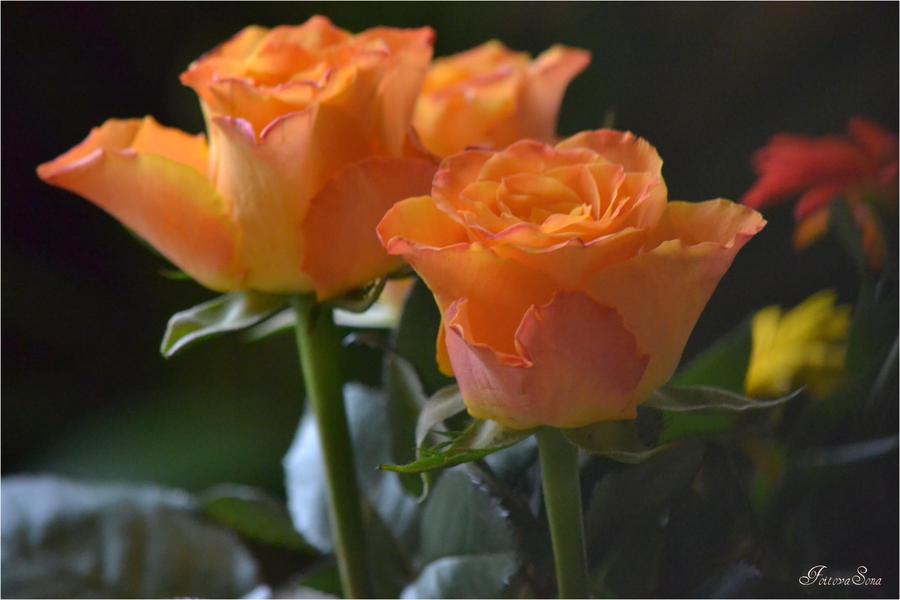 rose flower by sonafoitova