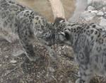 Lovins for Snow Leopards
