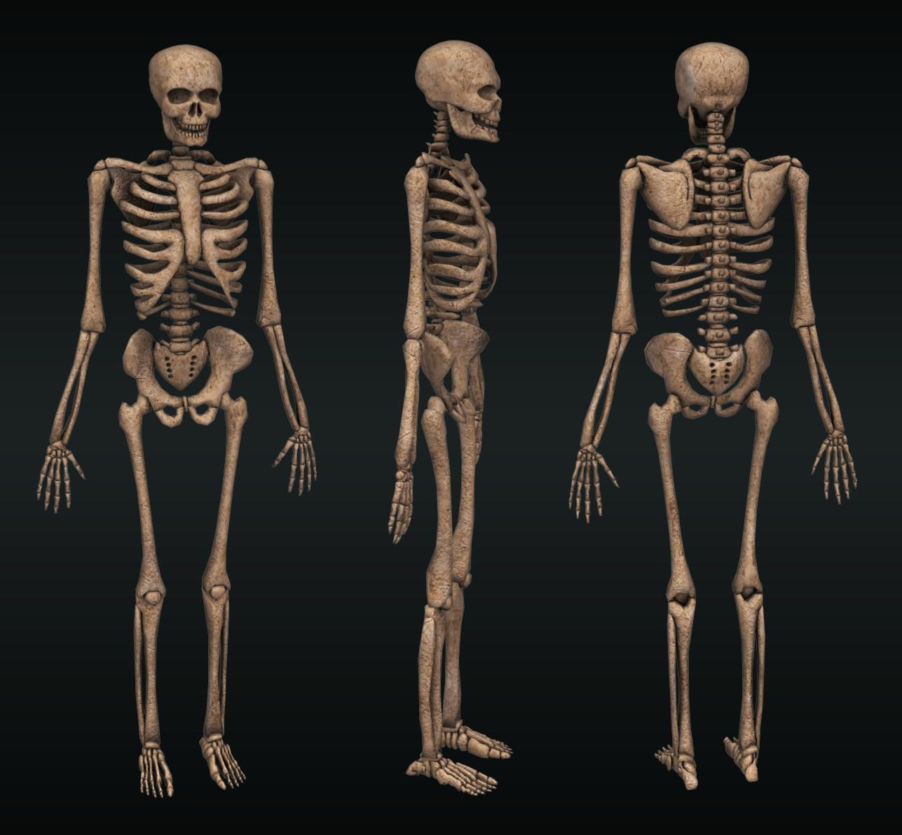 3D skeleton by toneloperu on DeviantArt