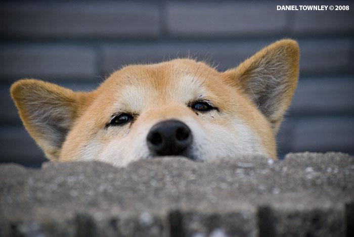 Resultado de imagen para akita happy