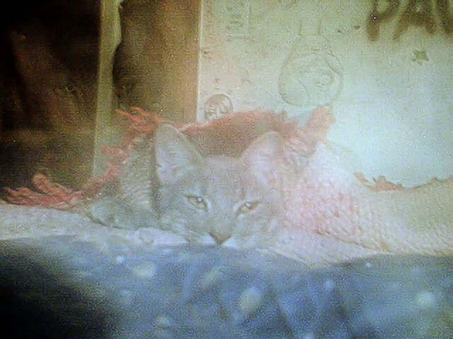 kitty cat hide by j1n3