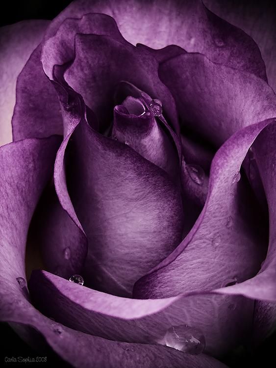 Purple Rose by CarlaSophia
