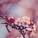 Day 16 - Blossom by CarlaSophia