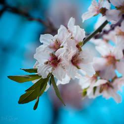 181 - Blossom by CarlaSophia