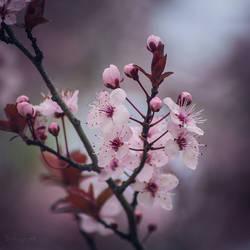 183 - Blossom by CarlaSophia