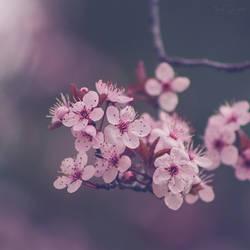 184 - Blossom by CarlaSophia