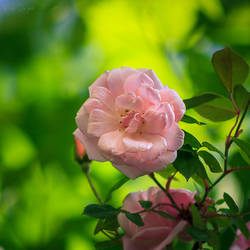 190 - Rose by CarlaSophia