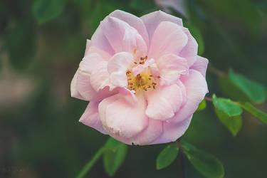 193 - Rose by CarlaSophia