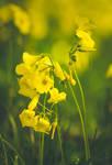 Wild flowers by CarlaSophia