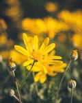 259 - Yellow flower by CarlaSophia
