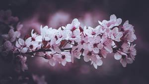 261 - Blossom
