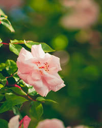275 - Rose by CarlaSophia