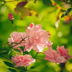 276 - Roses by CarlaSophia