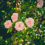 281 - Roses by CarlaSophia