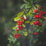 297 - Berries by CarlaSophia