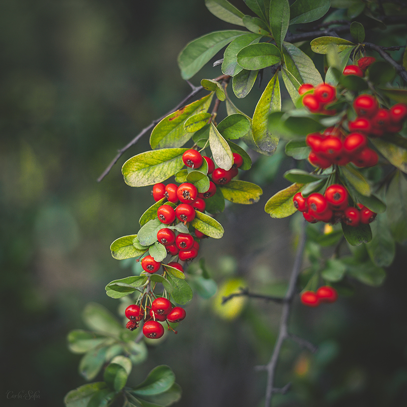 297 - Berries by CarlaSophia