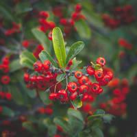 301 - Berries