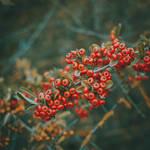 302 - Berries
