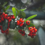 314 - Berries by CarlaSophia