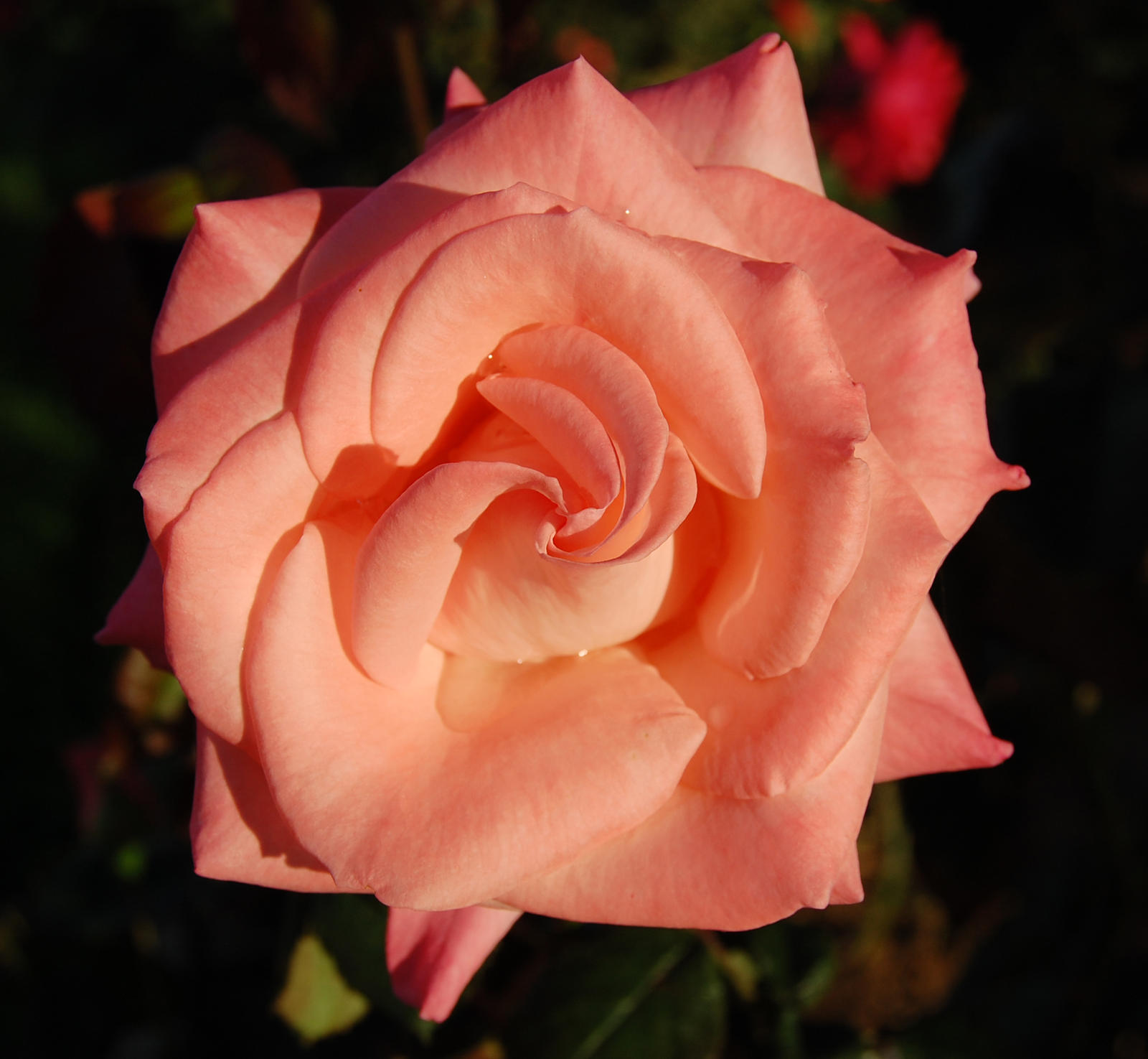 Pink Rose by kory83