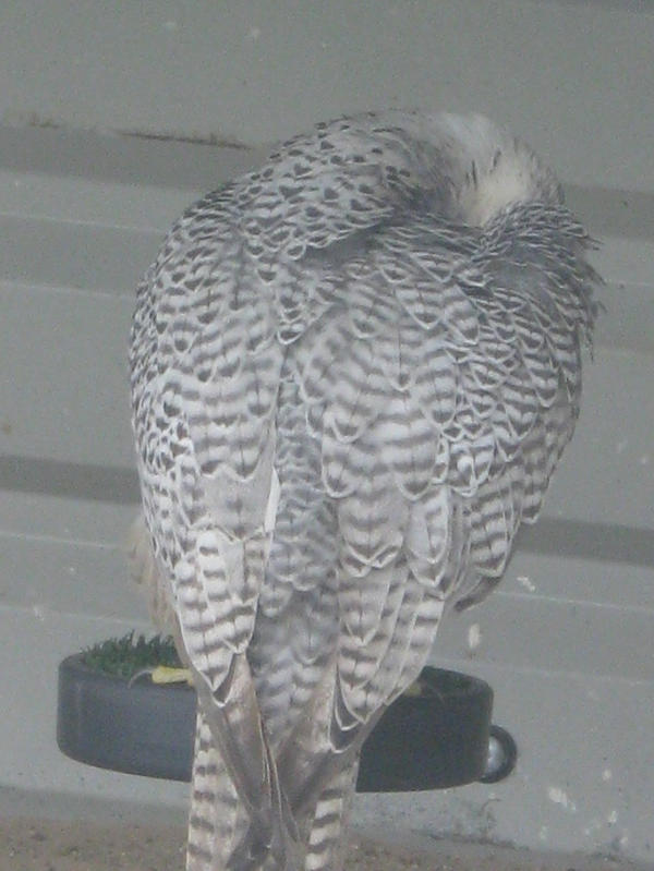 Silver Gyrfalcon on Perch 02 by Stock-of-Rao on deviantART