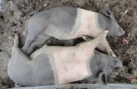 2 Pigs Full Body Shot