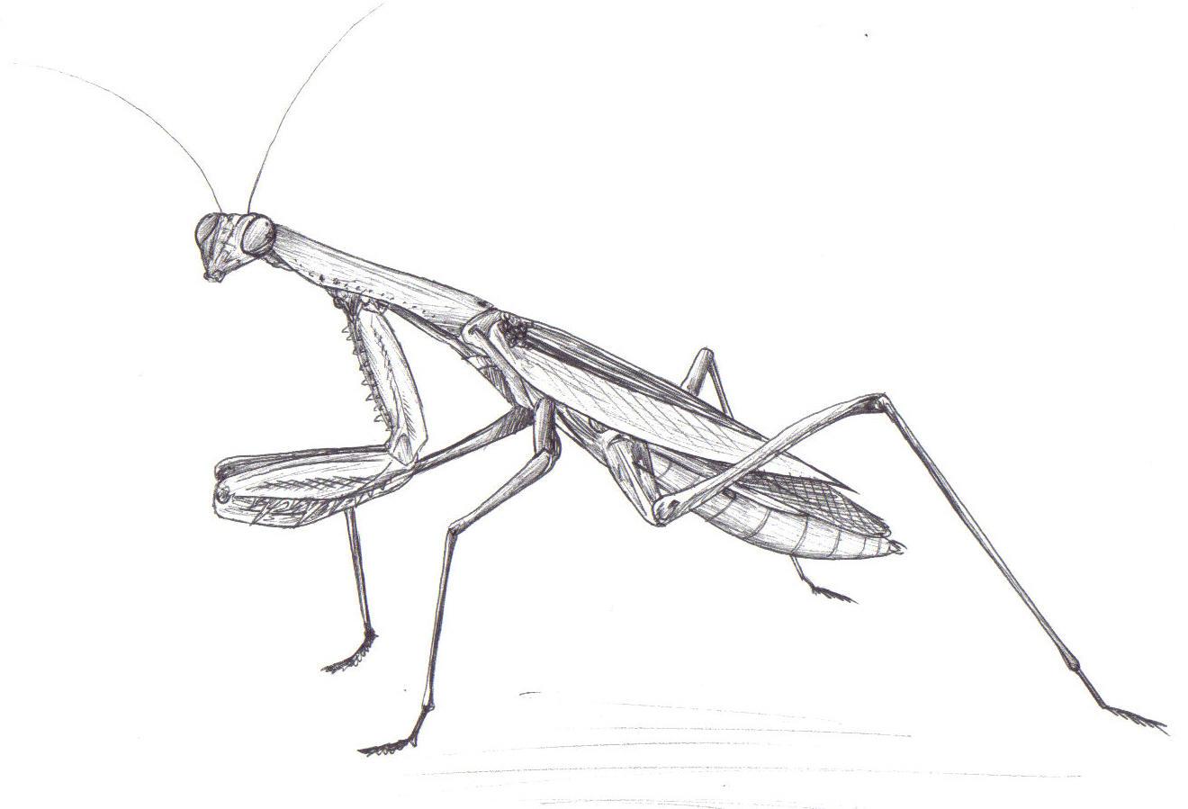 Praying mantis black and white drawing for Praying mantis coloring page