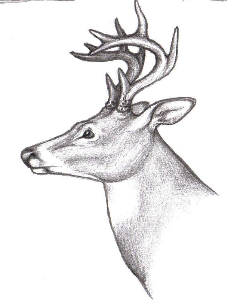 Deer Drawing Deer Buck Drawi