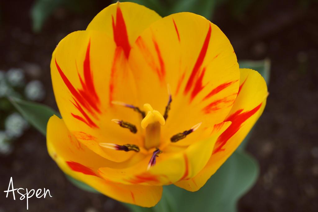 Striped Tulip by Aspen287