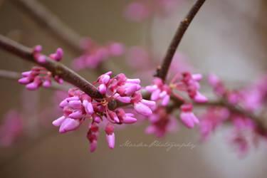 Redbud Tree 2