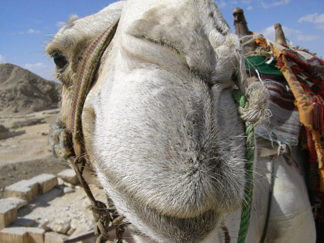 camel in cairo
