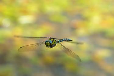 dragonfly by enaruna