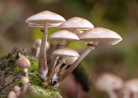 Porcelain Fungi by enaruna