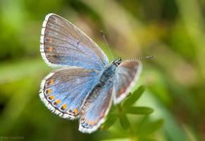 Gossamer-winged Butterfly by enaruna