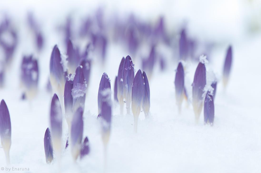 Crocuses in the Snow by enaruna