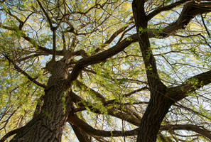 Willow Tree by enaruna