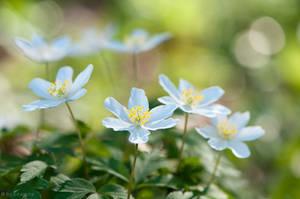 Windflowers by enaruna