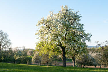 Blossoming Pear Tree by enaruna